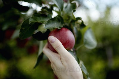 A hand reaching up into the boughs of a fruit tree, picking a red ripe apple.