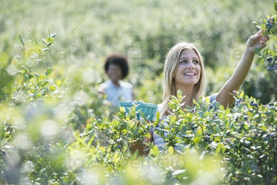 People picking fresh blueberries from the organic grown plants in a field.