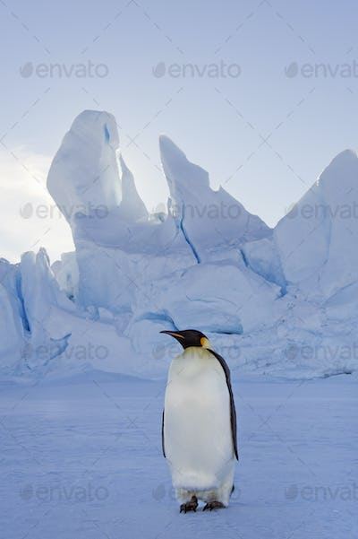 An adult Emperor penguin standing on the ice in shadow,with head turned sideways