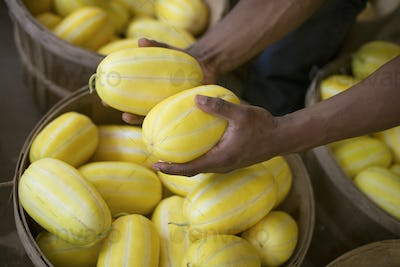 A farm growing and selling organic vegetables and fruit. A man harvesting striped squashes.