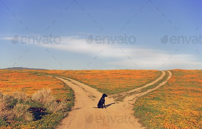 A black labrador retriever dog sitting at a fork in the road, where the path divides.
