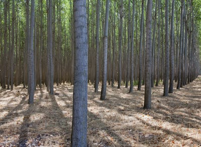 A poplar tree plantation near Pendleton in Umatilla county in Oregon.