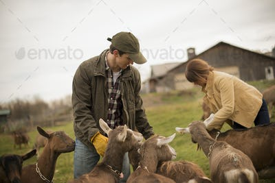 Farmer working at a small organic dairy farm with a mixed herd of cows and goats.