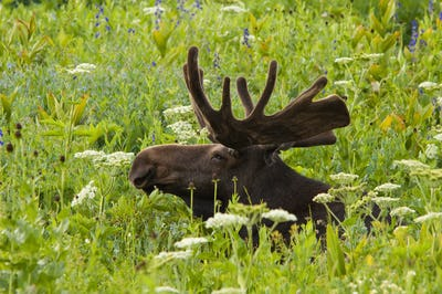 An adult moose, Alces alces, grazing in the long grass in mountains
