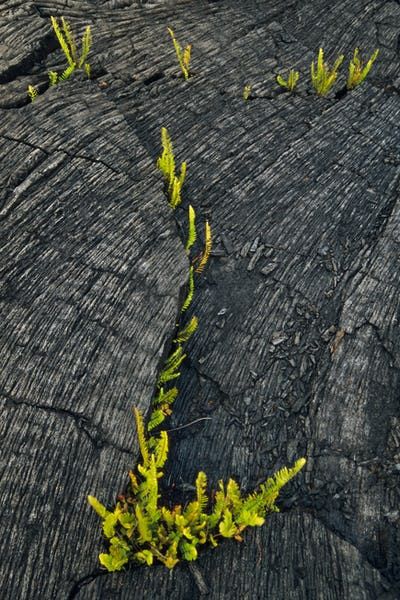 Ferns sprouting in lava flow, Hawaii Volcanoes National Park, Hawaii