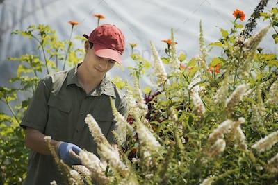 Organic Farmer, young man tending flowering shrubs in a polytunnel.