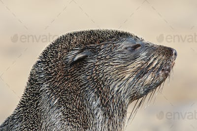 The head of a cape fur seal,Arctocephalus pusillus,at the beach