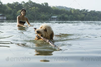 A labradoodle dog swimming with a stick in her mouth. A woman in the background.