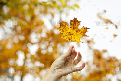 A person's hand holding an autumn coloured maple leaf.