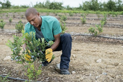 Organic fruit orchard. A man examining a row of blueberry shrubs.