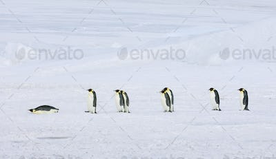 A row of Emperor penguins walking across the ice, one lying on its stomach sliding along.