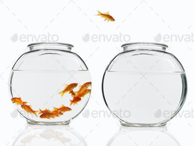 Goldfish swimming in a glass bowl, one escaping to another bowl.