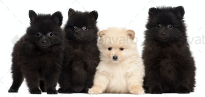 Four Spitz puppies, 2 months old, in front of white background