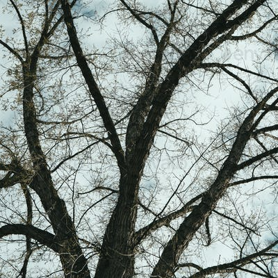The spreading branches of a mature elm tree just as the leaves are breaking out in green