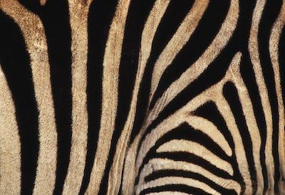 Zebra skin, Equus quagga, Kenya