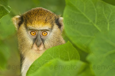 A young Mona monkey,Cercopithecus mona,hiding in foliage