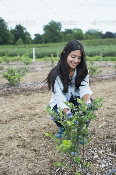 Organic fruit orchard. A woman examining a row of blueberry shrubs.