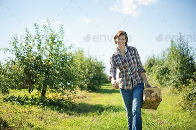 A woman picking apples in the orchard at an organic fruit farm,carrying a wicker basket.
