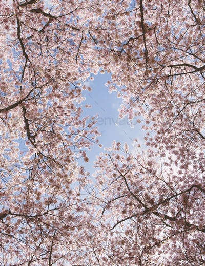 Frothy pink cherry blossom on cherry trees in spring viewed from the ground against a blue sky.