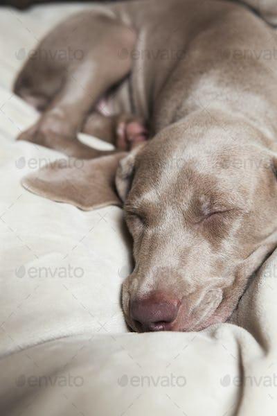 A Weimaraner pedigree puppy sleeping on a bed.