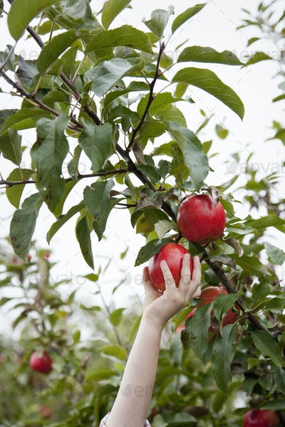 An apple tree with red round fruits, ready for picking.