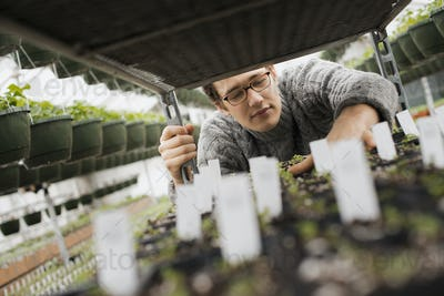 Spring growth in an organic plant nursery. A man checking trays of seedlings on a trolley.
