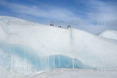 Three penguin chicks ,heads seen peering over a snowdrift or ridge