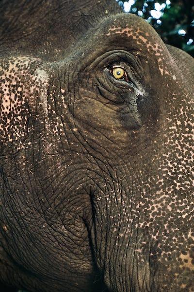 Domestic asiatic elephant face, Elephas maximus, Mudumalai Wildlife Sanctuary, Western Ghats, India