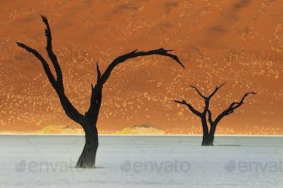Dead camelthorn trees, Acacia erioloba, in a desert landscape