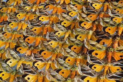 Nocturnal moth specimens, Othreis materna, National Institute of Biodiversity, San Jose, Costa Rica