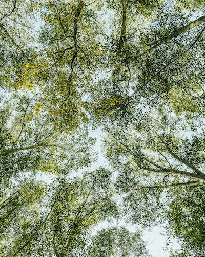 View from below up to lush,green forest canopy  and spreading branches of Big leaf maple and alder