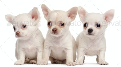 Three Chihuahua puppies, 2 months old, in front of white background