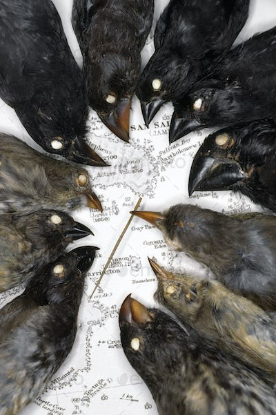 Charles Darwin's bird finch specimens on map of Galapagos Islands