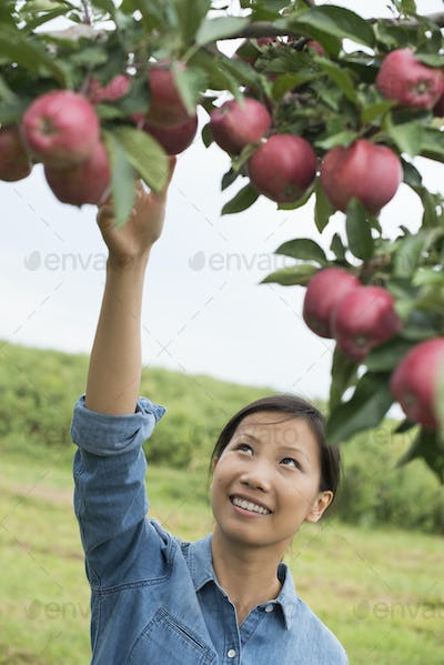 An organic apple tree orchard. A woman picking the ripe red apples.