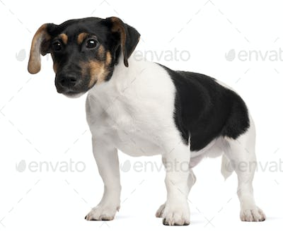Jack Russell Terrier puppy, 5 months old, standing in front of white background