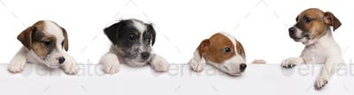 Jack Russell Terrier puppies, 2 months old, getting out of a box in front of white background