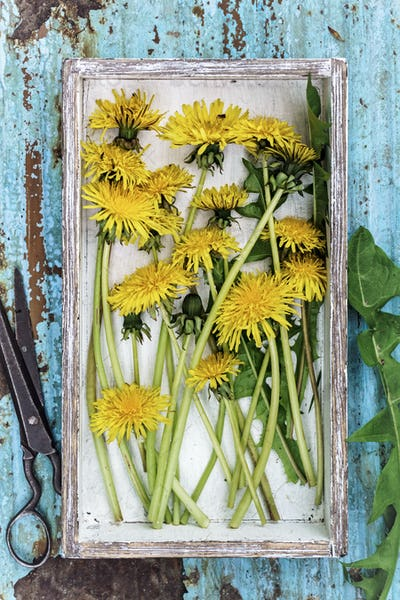 Picked dandelions flowers in box