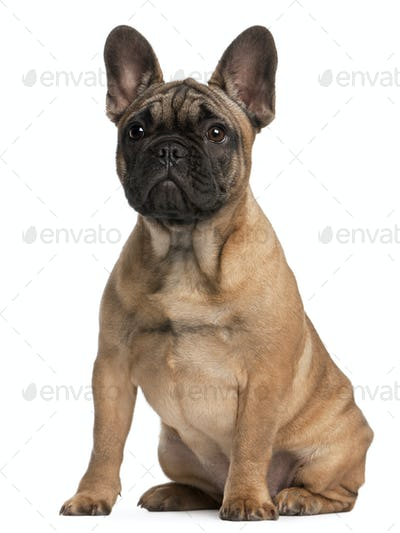French bulldog puppy, 4 months old, sitting in front of white background