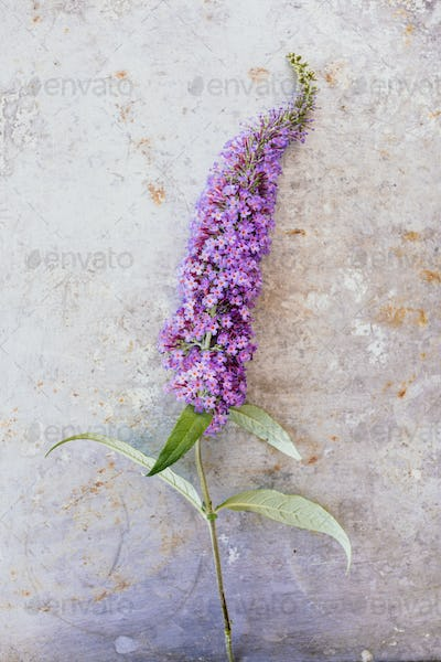 Summer lilac
