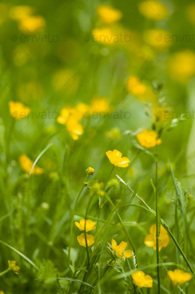 yelllow flowers and grass