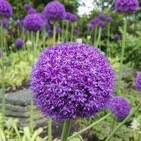 Ornamental allium flower