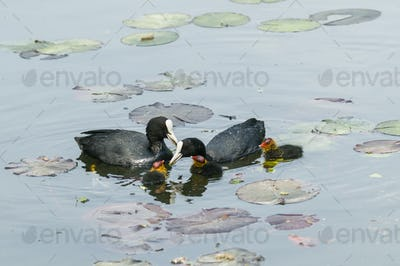 Coot family on a ponf