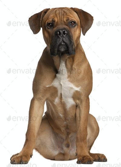 Cane Corso, 9 months old, sitting in front of white background