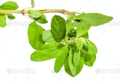 top of fresh marjoram twig close up isolated
