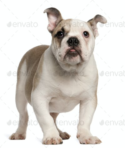English bulldog, 4 months old, standing in front of white background