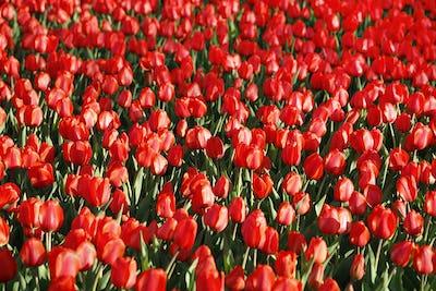 Beautiful red tulips glowing on sunlight