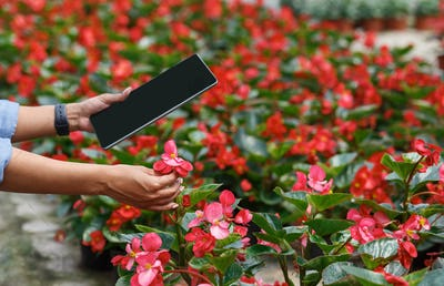 Modern plant growing. Farmer girl with tablet checks flowers in greenhouse