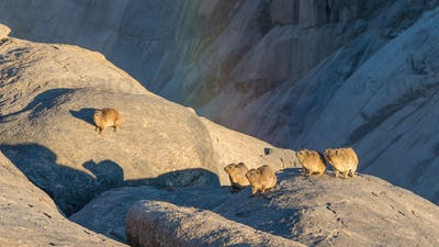 Rock Hyrax or Dassies at Augrabies