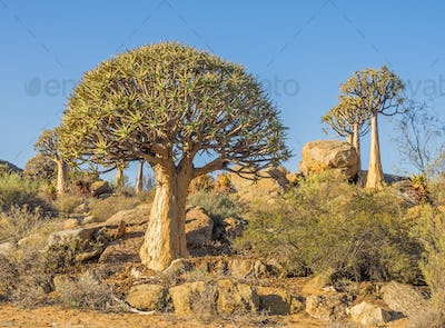 Kokerboom or Quiver Trees in South Africa