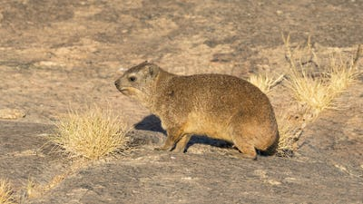 A Rock Hyrax or Dassie in South Africa